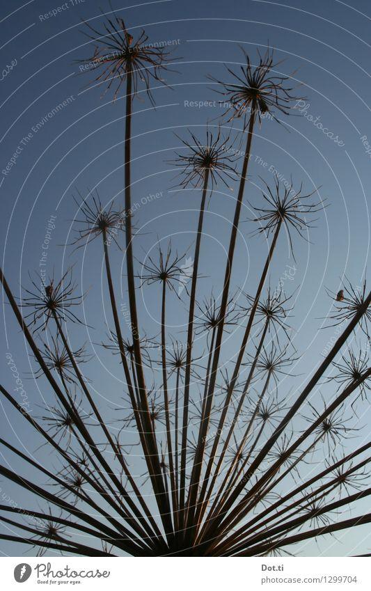 Prunkdolde Natur Pflanze Himmel Wolkenloser Himmel Herbst Wildpflanze blau gefährlich Riesen-Bärenklau Herkulesstaude Doldenblüte verblüht vertrocknet Blüte