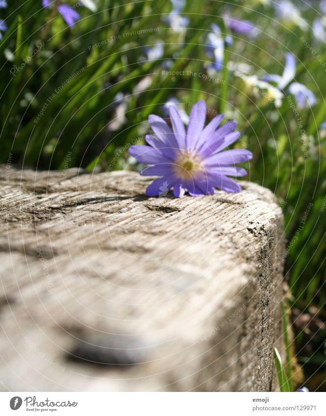 Frühüling Blume Sommer Frühling springen Schönes Wetter schön violett Holz Wiese Gras grün Pflanze Wachstum gedeihen Makroaufnahme Unschärfe Feld morsch