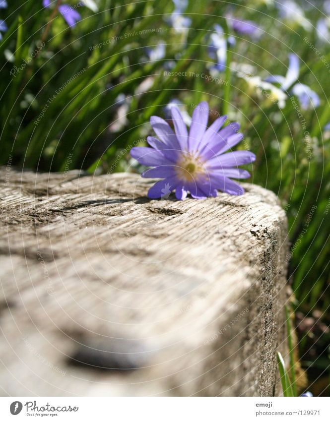 Frühüling grün schön Pflanze Sommer Blume Wiese springen Gras Holz Frühling Feld Wachstum nah violett Blühend Blütenknospen