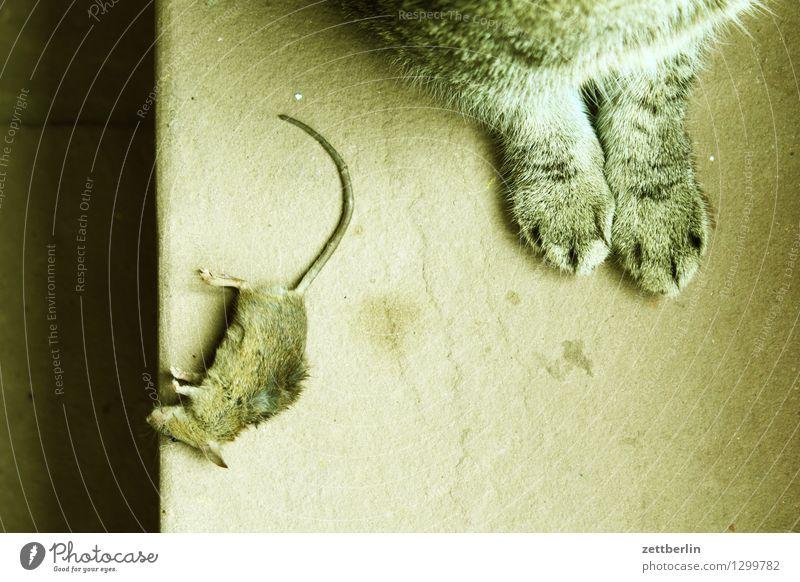 Katz und Maus Katze Tod Opfer gefangen Fressen Mahlzeit Schädlinge Pflanzenschädlinge nützlich Haustier Landraubtier Tier Feindschaft Fell Pfote Schwanz