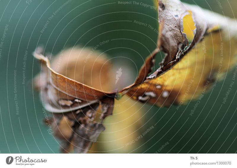 Blatt Natur Pflanze Sommer Herbst Blühend verblüht ästhetisch authentisch einfach elegant natürlich schön braun gelb grün Gelassenheit geduldig ruhig Farbe