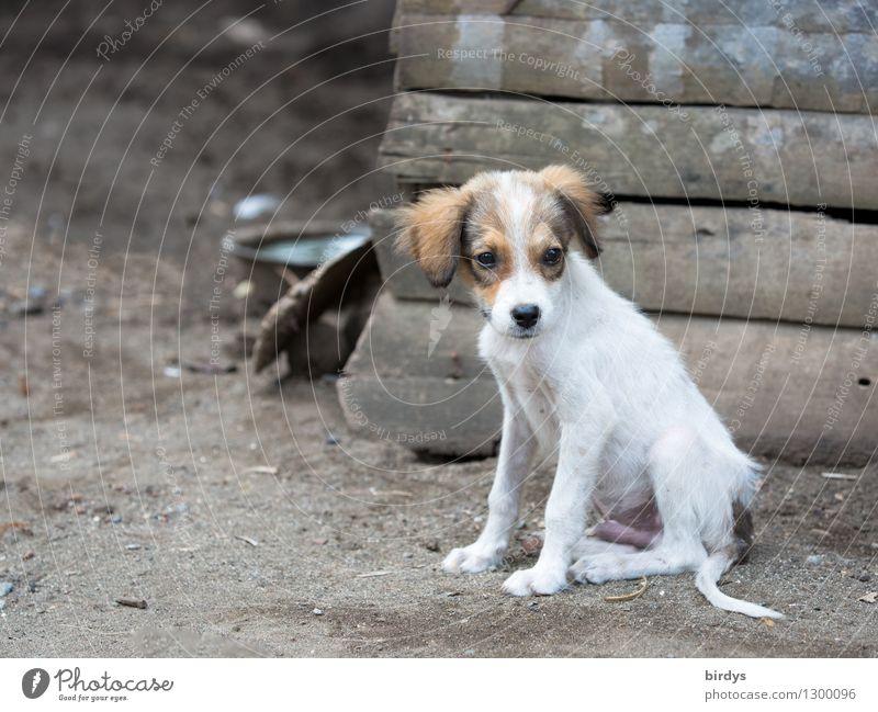 Welpe Hund schön Tier Tierjunges natürlich klein authentisch sitzen beobachten niedlich Haustier ländlich Mischling