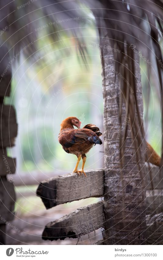 Körperpflege Natur Tier Leben natürlich außergewöhnlich stehen Lebensfreude Sauberkeit Reinigen Landwirtschaft Zaun exotisch positiv nachhaltig