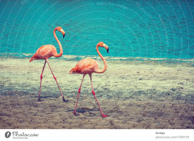 Paar-Lauf Natur Wasser Schönes Wetter Seeufer Wildtier Flamingo 2 Tier Tierpaar gehen ästhetisch authentisch elegant exotisch Zusammensein positiv dünn schön
