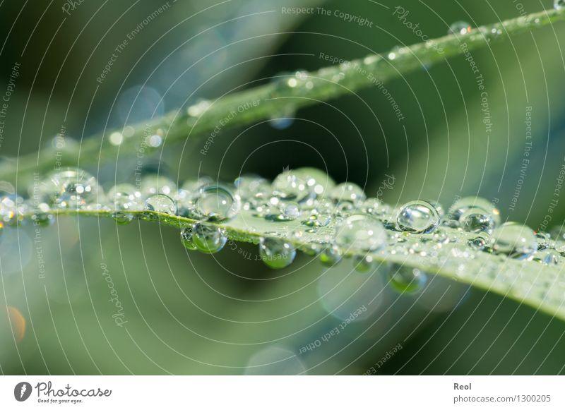 Wassertropfen Natur Tier Urelemente Sonnenlicht Sommer Pflanze Gras Schilfrohr grün Tau Tropfen Morgen Farbfoto Gedeckte Farben Außenaufnahme Menschenleer