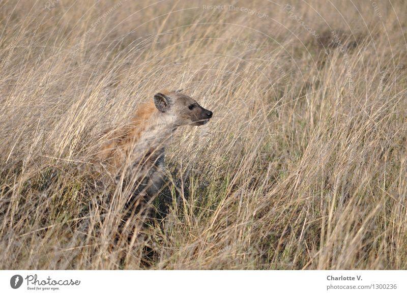 Hyäne Natur Tier Schönes Wetter Gras Grasland Steppe Wildtier 1 hocken Blick sitzen frei natürlich klug trocken wild braun grau selbstbewußt ruhig Neugier