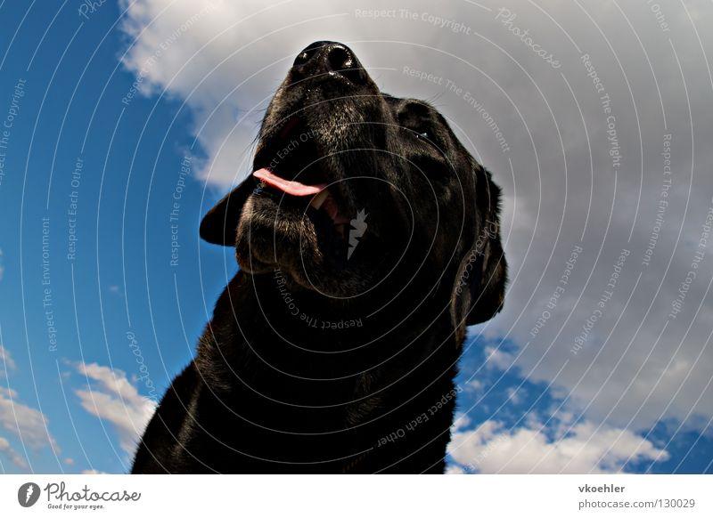 mit weitblick Hund Labrador träumen Sehnsucht Fernweh Tier Erwartung schwarz Hoffnung grau Trauer elegant Hochmut Neugier Außenaufnahme schön Säugetier Himmel