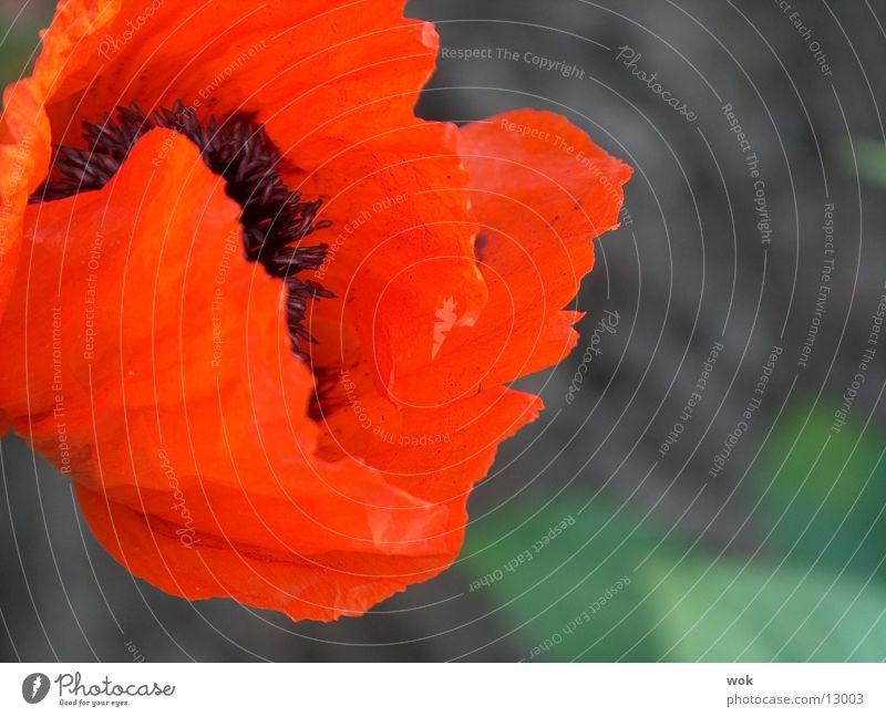 mohnblume Blume rot Mohn