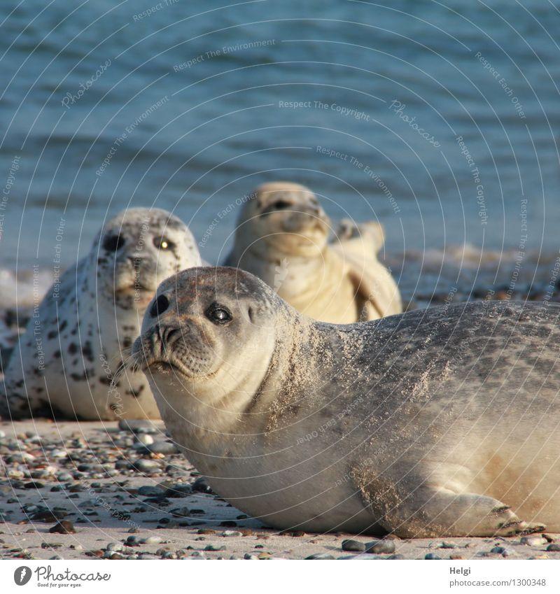 ziemlich nah... Umwelt Natur Tier Wasser Sommer Schönes Wetter Strand Nordsee Insel Helgoland Wildtier Seehund 3 liegen Blick außergewöhnlich Zusammensein
