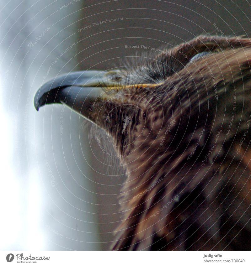 Adler Vogel Greifvogel Schnabel Sehnsucht Froschperspektive Feder Ornithologie Tier schön Umwelt Farbe steppenadler Blick oben Stolz Leben Natur