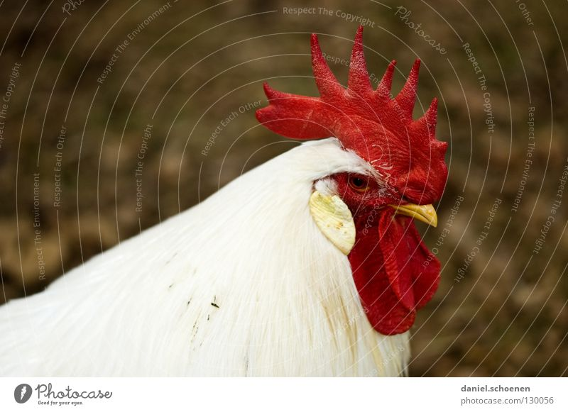 Männer eben ! weiß rot Tier schwarz Vogel maskulin Feder Haustier Schnabel Nutztier beeindruckend Hahn Angeben Allüren