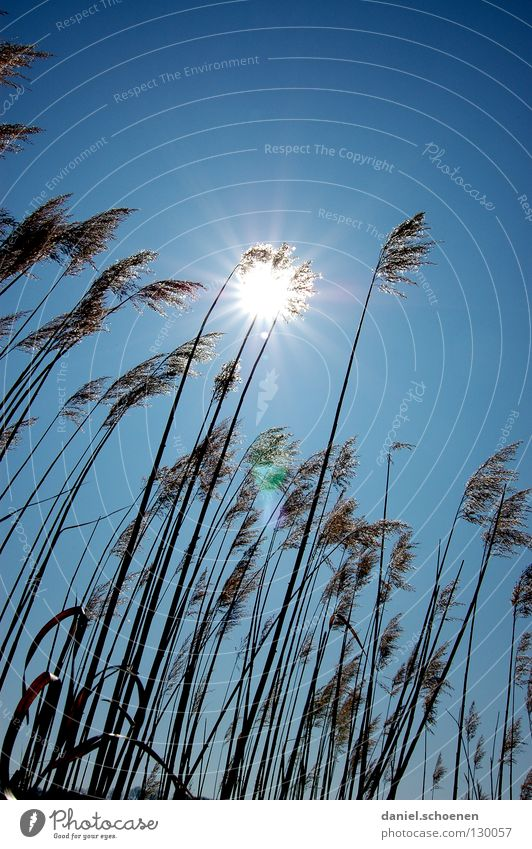 Grassonne Himmel blau Sonne Sommer Gras Beleuchtung Wetter Schönes Wetter Halm zyan Himmelskörper & Weltall