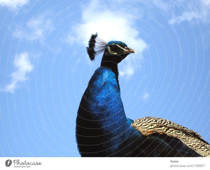Und was willst Du? Pfau Wolken Tier Vogel blau Himmel Feder