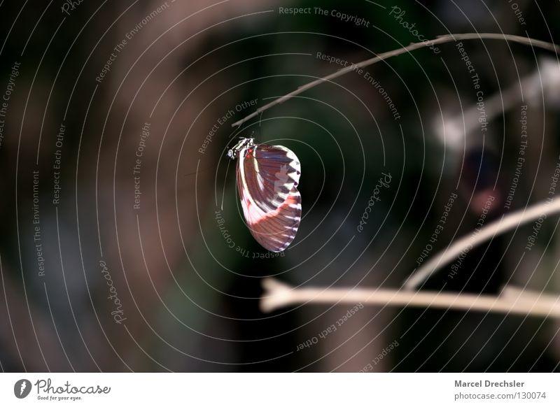 einfach mal abhängen Tier Farbe dunkel Erholung Geschwindigkeit Insekt Ast Schmetterling leicht hängen Tiefenschärfe Fühler