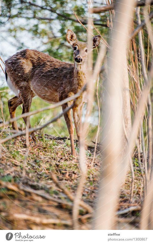 Tierisch gut: Bambi Sonnenaufgang Sonnenuntergang Frühling Schönes Wetter Wald Wildtier 1 außergewöhnlich Kitsch wild Reh Schüchternheit Farbfoto Außenaufnahme