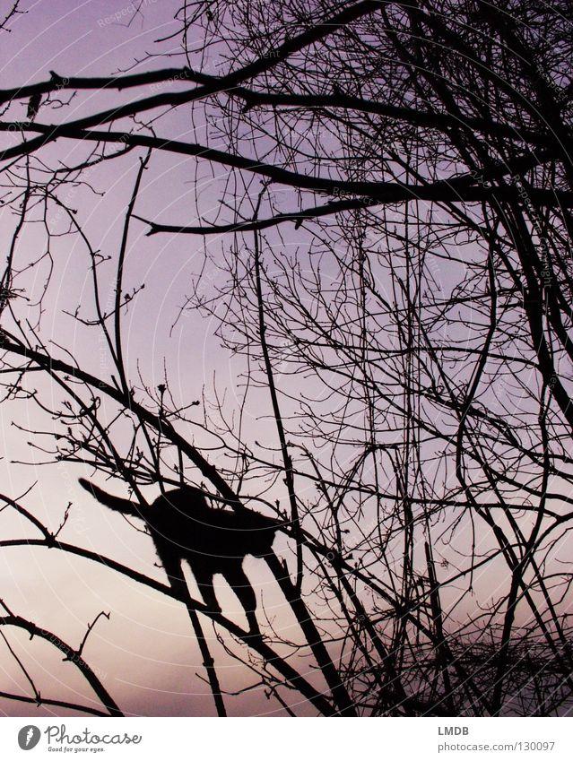 Miss Kittman dunkel Nacht Baum Sträucher Katze Gegenlicht Sonnenuntergang Dämmerung violett rosa schwarz Zufriedenheit Gleichgewicht Vorsicht Geschicklichkeit