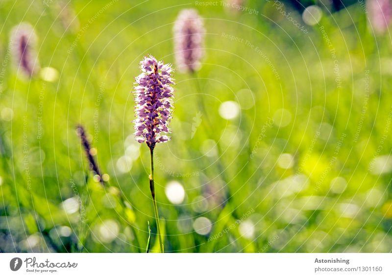 Zahnbürste Umwelt Natur Landschaft Pflanze Sommer Wetter Schönes Wetter Blume Gras Blatt Blüte Grünpflanze Wildpflanze Knöterich Wiese Österreich hell grün