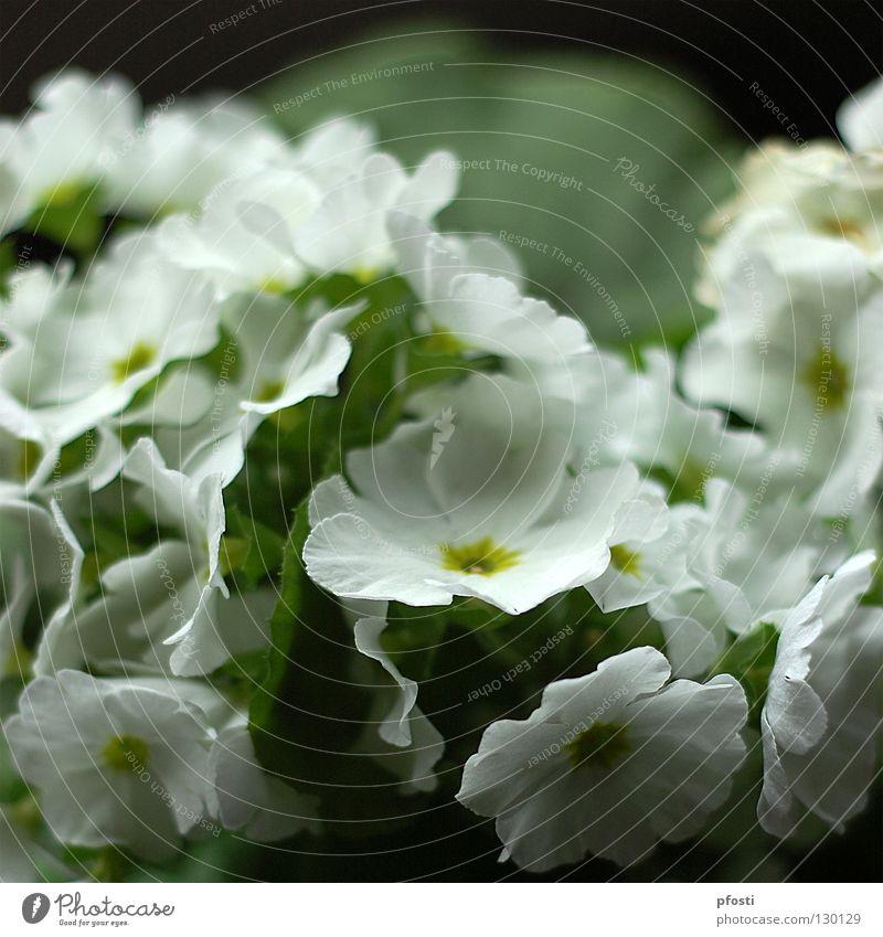 Flos pulcher! Blume Blüte grün Pflanze Zierpflanze Topfpflanze Reifezeit Wachstum schön Physik Leben duftig Dekoration & Verzierung Duft Natur Blühend gießen