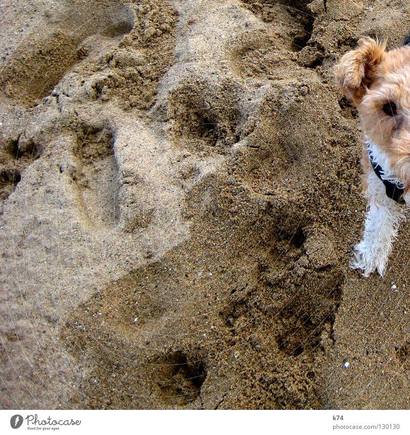 HALBER HUND Hund Strand beige Tier Fell weiß Sandkorn Säugetier Struppi Ohr Beine Spuren