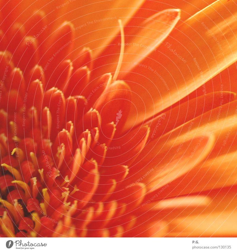Detail einer Gerbera Blume Makroaufnahme Blüte Pflanze Farbe Detailaufnahme Macrofotografie orange