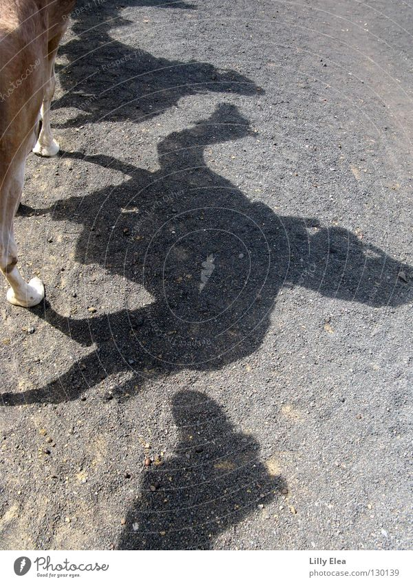 Im Schatten der Kamele Tier grau Sand Wüste Afrika Nomaden Reitsport Sahara Marokko Karavane Lanzarote Dromedar Beduinen Trampeltier