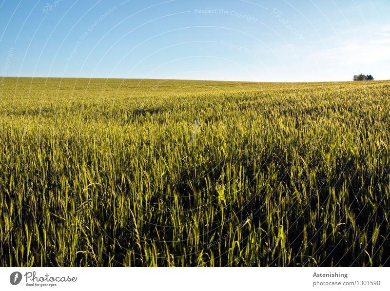 Feld Umwelt Natur Landschaft Pflanze Luft Himmel Wolkenloser Himmel Horizont Sommer Wetter Schönes Wetter Baum Nutzpflanze Getreide Österreich Wachstum hell
