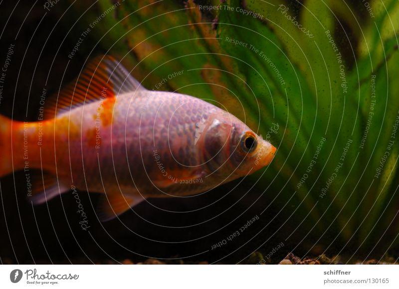 Käptn Iglu Wasser Pflanze ruhig Einsamkeit orange gold glänzend Schwimmen & Baden Fisch Fleck Aquarium Schwanz Schwimmhilfe scheckig Goldfisch Kopfschuppe