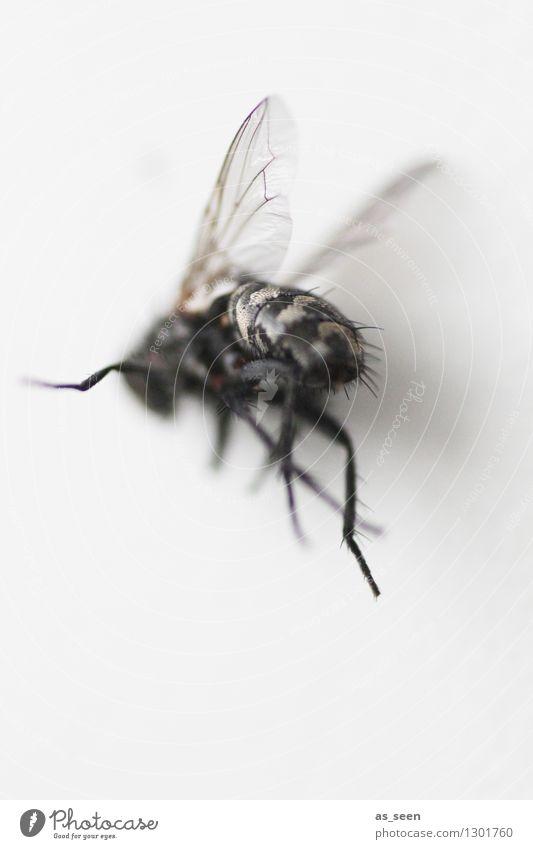Fliege auf der Flucht Halloween Tier Insekt Flügel Beine 1 fliegen authentisch außergewöhnlich Ekel gruselig hässlich grau schwarz Tod Angst bizarr Natur dunkel