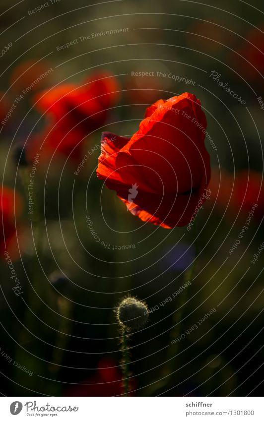 Spreedorado | Rote Rüsche Pflanze Blume Blüte Wiese Feld rot Mohn Mohnblüte Mohnfeld Mohnkapsel Mohnblatt Klatschmohn Kornblume Außenaufnahme Abend Dämmerung