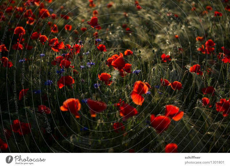 Spreedorado | Montag ist Mohntag Natur Pflanze Schönes Wetter Blüte Nutzpflanze Feld blau rot Mohnblüte Mohnfeld Mohnkapsel Mohnblatt Kornblume Gersten