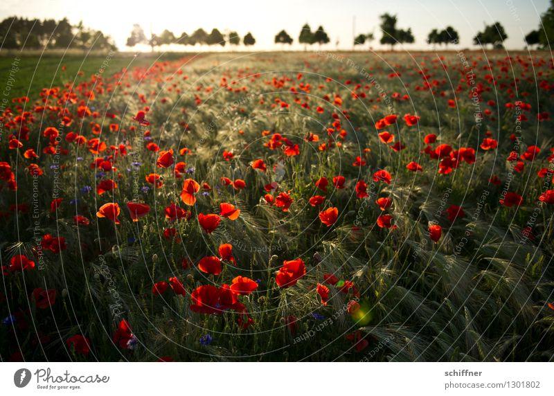 Spreedorado | rot sehen Umwelt Natur Landschaft Pflanze Sonnenaufgang Sonnenuntergang Sonnenlicht Baum Blume Gras Wiese Feld Mohn Mohnblüte Mohnfeld Mohnkapsel