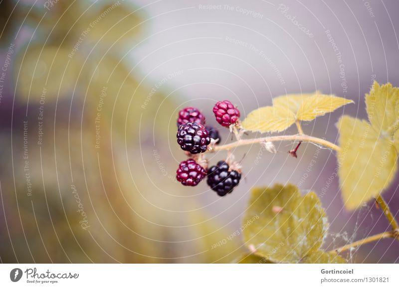 Mûre Natur Herbst Pflanze Sträucher Blatt Wildpflanze lecker Brombeerbusch Brombeeren reif unreif herbstlich Saison Frucht Beeren Beerensträucher Farbfoto