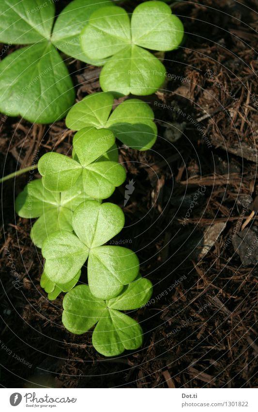Mähnäbteklee? Natur Pflanze Erde Blatt Grünpflanze grün Glück Klee Kleeblatt frisch herzförmig Farbfoto Außenaufnahme Menschenleer Textfreiraum rechts