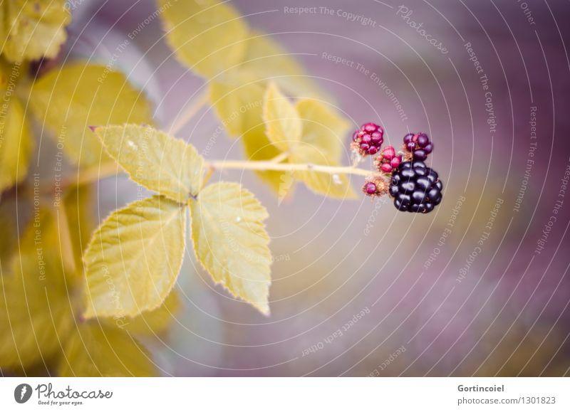 Blackberry Natur Herbst Pflanze Sträucher Blatt Wildpflanze lecker Brombeerbusch Brombeeren reif unreif herbstlich Saison Frucht Beeren Beerensträucher Farbfoto
