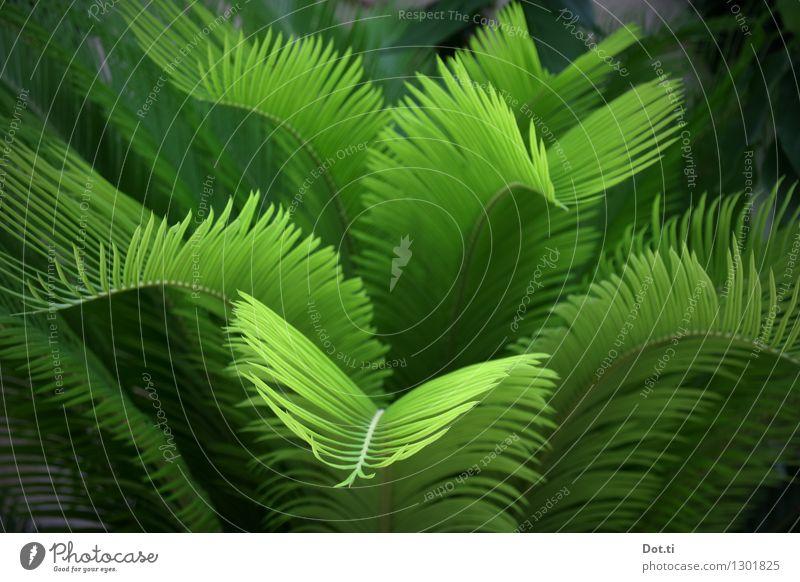 jungle Natur Pflanze exotisch grün Palme Urwald Unterholz Farbfoto Außenaufnahme Menschenleer Schwache Tiefenschärfe