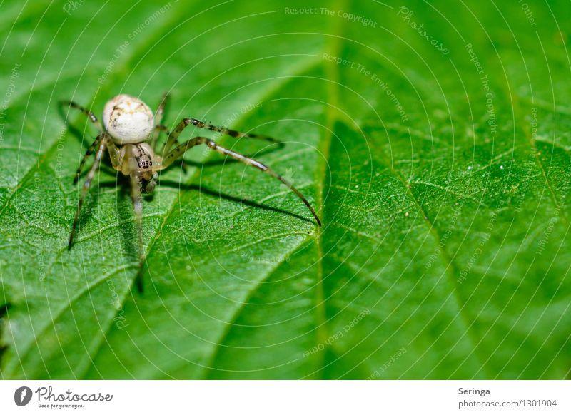 Klein aber Fein Natur Landschaft Pflanze Tier Sommer Blume Gras Sträucher Blatt Garten Park Wiese Feld Wald Spinne Tiergesicht 1 hängen krabbeln Krabbenspinne