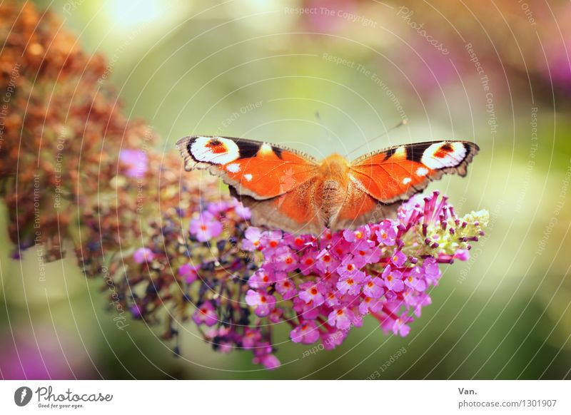 Beobachtungsflügel Natur Pflanze Sommer Tier Wärme Blüte Garten rosa orange Wildtier Flügel Insekt Schmetterling