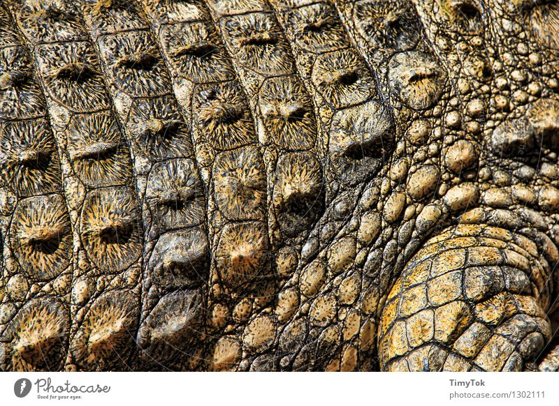 Krokodilhaut Tier Wildtier bedrohlich exotisch stachelig braun grün Farbfoto Nahaufnahme Menschenleer