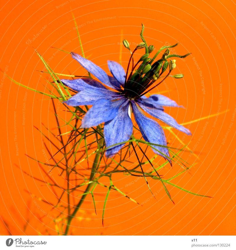 orange | blue Blume Blüte Kornblume zart fein Pflanze Blütenblatt rund Spielen Sommer Gegenteil knallig Kitsch grün binden Kopfschmuck Makroaufnahme Nahaufnahme