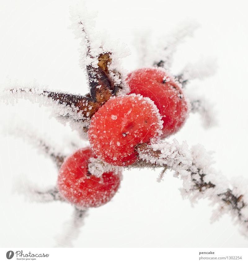 eis | kalt Frucht Natur Urelemente Winter Eis Frost Pflanze Gesundheit Hagebutten Raureif 3 rot heiß Gegenteil Farbfoto Außenaufnahme Nahaufnahme Makroaufnahme