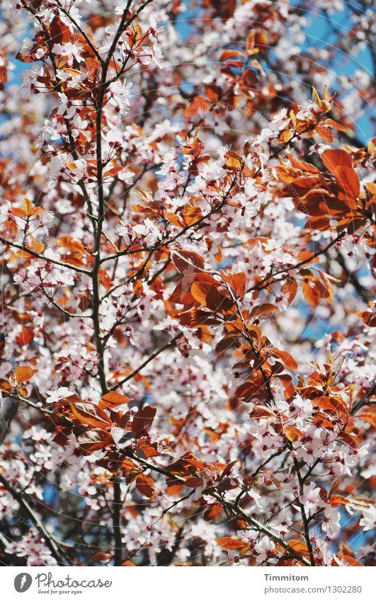 Warte nur, balde blühest du auch. Natur Pflanze blau weiß Wärme Blüte Frühling natürlich ästhetisch Blühend Schönes Wetter