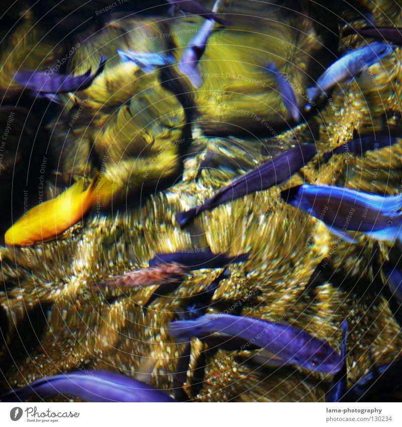 Goldener Außenseiter Wasser Meer blau Bewegung Stein See Wellen Afrika gold Fisch Tansania Boden Bodenbelag Dekoration & Verzierung rein