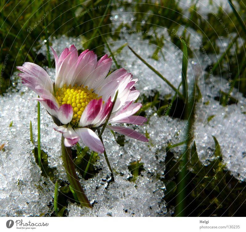 Lichtblick... weiß Blume grün Winter Einsamkeit gelb kalt Schnee Gras Frühling Eis braun Zusammensein rosa Frost Rasen