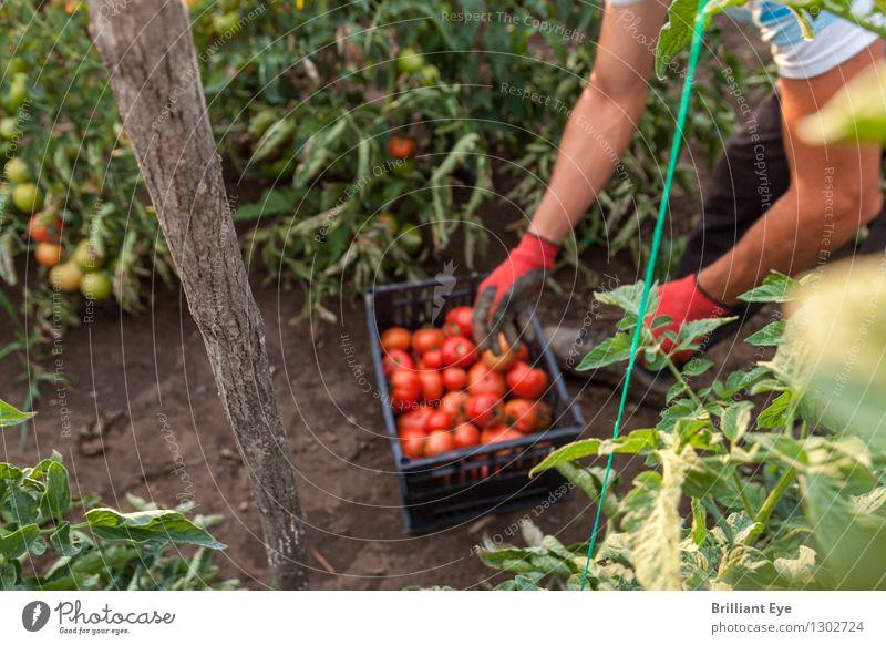erntezeit tomaten Mensch Natur Sommer Umwelt Arbeit & Erwerbstätigkeit maskulin Freizeit & Hobby Feld authentisch ästhetisch Landwirtschaft Gemüse Bioprodukte