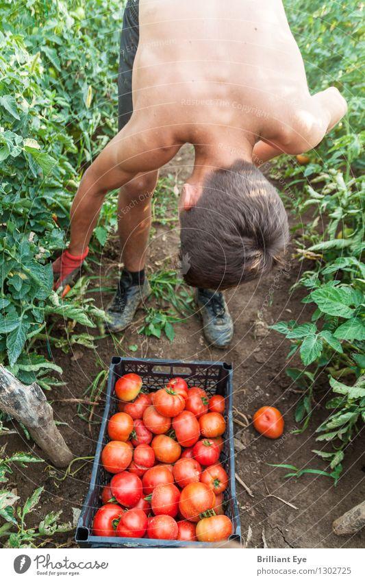 Bücken um Tomaten zu pflücken Lifestyle Sommer Garten Feld Landwirtschaft Forstwirtschaft Mensch Junger Mann Jugendliche 1 13-18 Jahre Natur