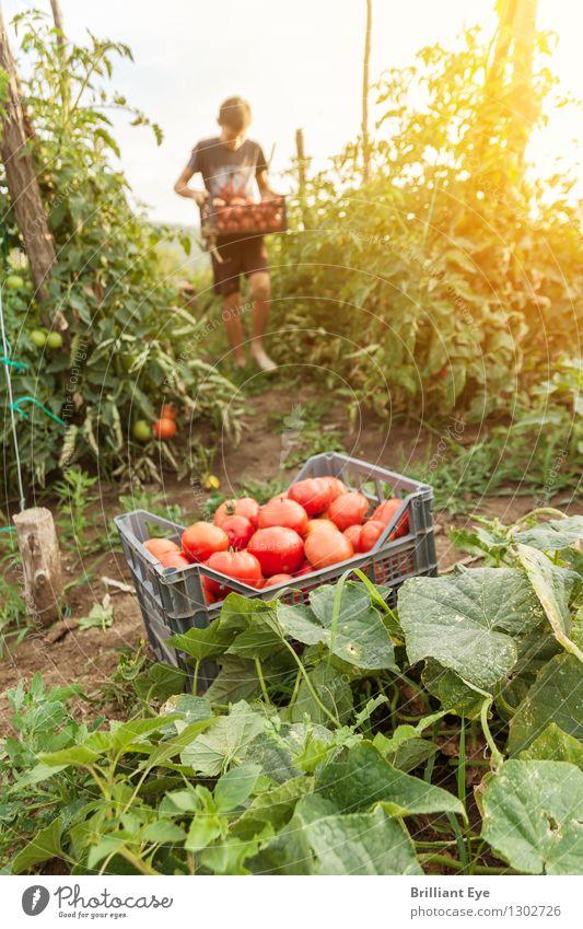 Tomaten ernten im Abendgelb Mensch Natur Sommer Wärme Gesundheit Stimmung gehen Arbeit & Erwerbstätigkeit Zufriedenheit Feld frisch authentisch Landwirtschaft