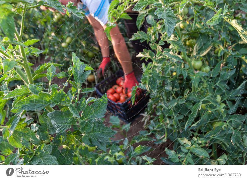 Blick hinter den grünen Kulissen Mensch Natur Sommer rot Arbeit & Erwerbstätigkeit maskulin Feld authentisch Industrie Landwirtschaft Gemüse Ernte Bioprodukte