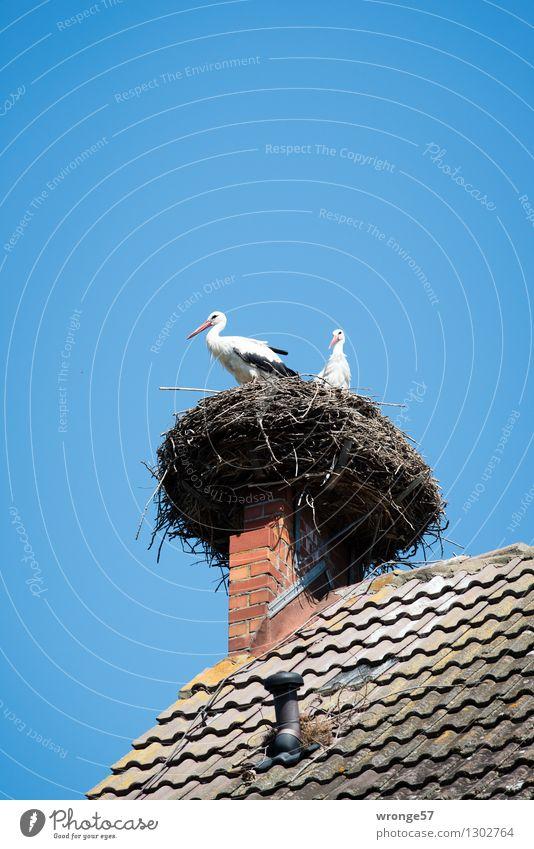 Heimkommen | Horst Umwelt Sommer Schönes Wetter Haus Dach Schornstein Tier Wildtier Vogel Storch 2 Tierpaar natürlich Neugier blau grau schwarz weiß Nest Himmel