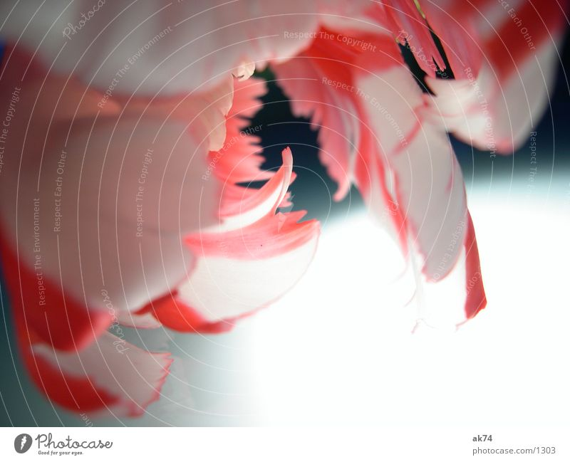 Tulpe1 weiß Blume rot