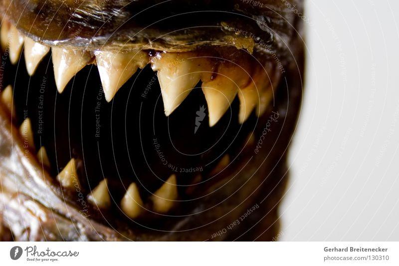 Nemo  –  gefunden. Meer Tier Tod lachen Angst Mund gefährlich Fisch bedrohlich Spitze Gebiss gruselig fangen Jagd böse Fressen